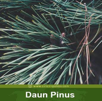 ciri ciri pohon daun pinus
