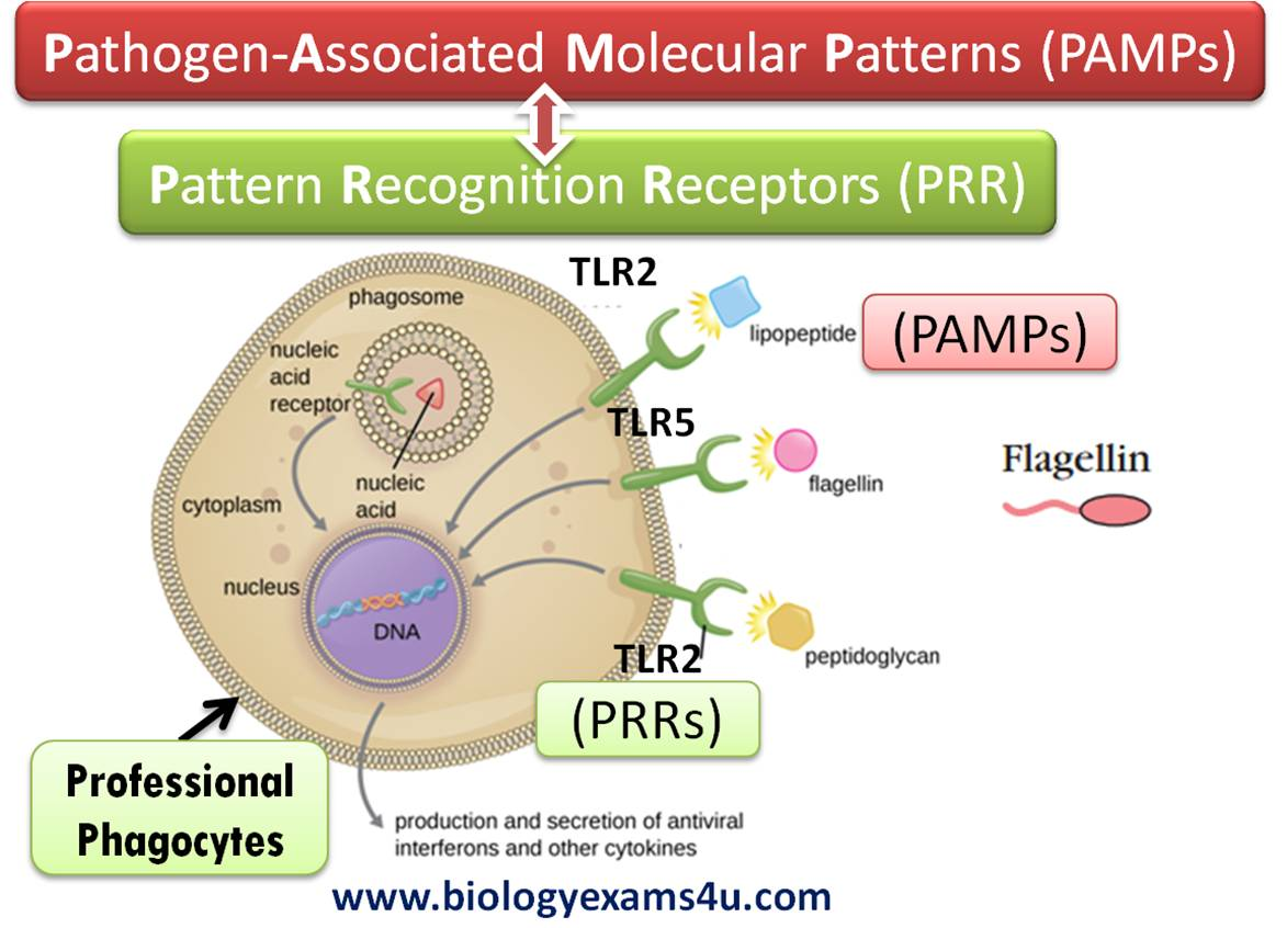 How does Innate immune response recognize pathogens? PRRs and PAMPs