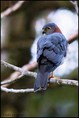 Rufous necked Sparrowhawk