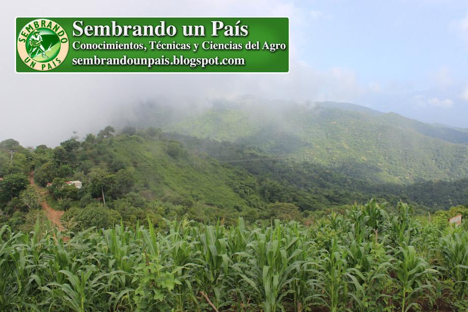 plantas de maíz en zona de montaña