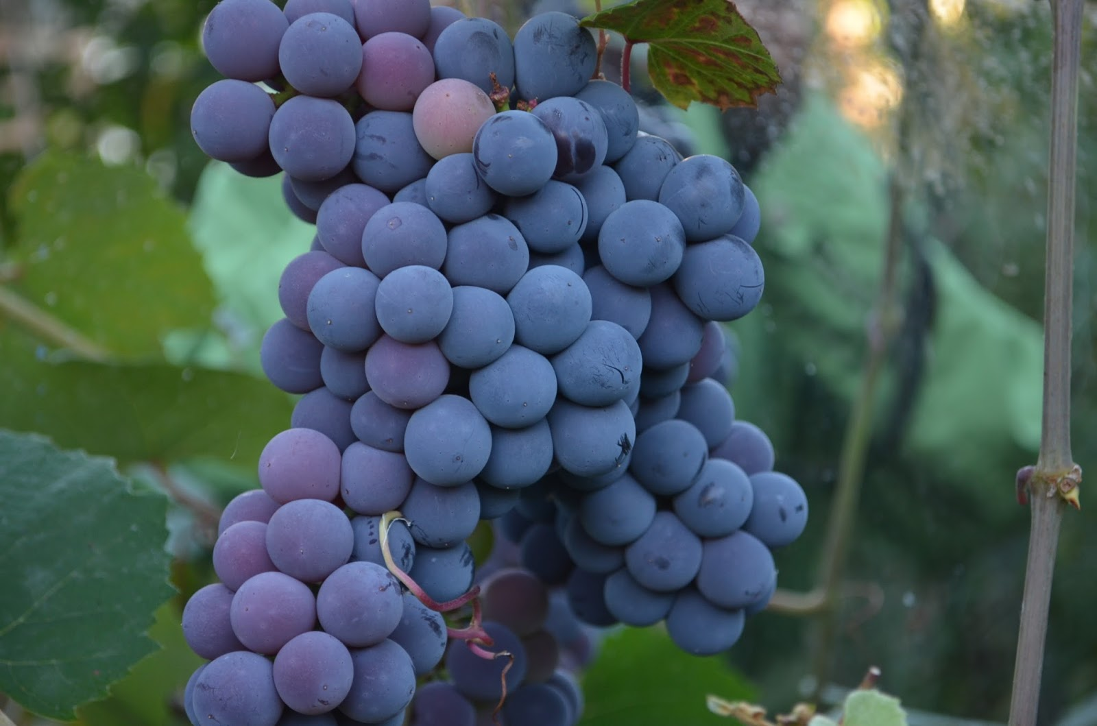 motherkerala.com: How to grow grapes in your backyard?