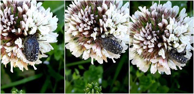 a bella e o mundo - polinizadores - jaquetão das flores mediterrânico