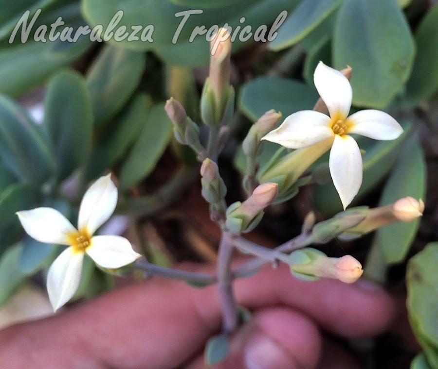 Vista de las flores típicas de la planta suculenta Kalanchoe prittwitzii