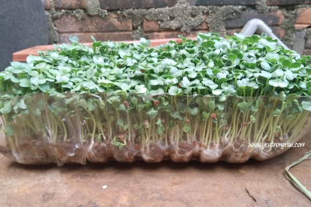 Rau mầm củ cải trắng dễ trồng và nhanh được ăn