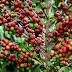 Produção de café cresce no Amazonas