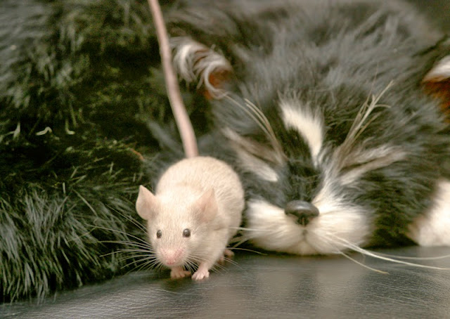 A mouse saunters by while a black-and-white cat sleeps