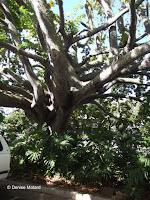 Cedro espino tree, Foster Botanical Garden - Honolulu, HI