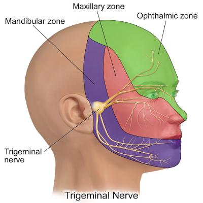 A medical illustration depicting trigeminal nerve.