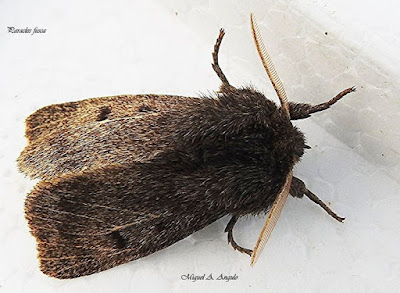 Paracles fusca