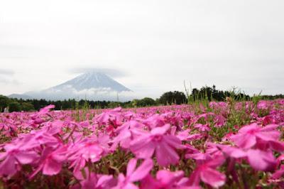 Shibazakura Festival (富士芝桜まつり)