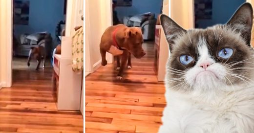 Pitbull abandonado camina de puntitas junto al gato para no molestarlo