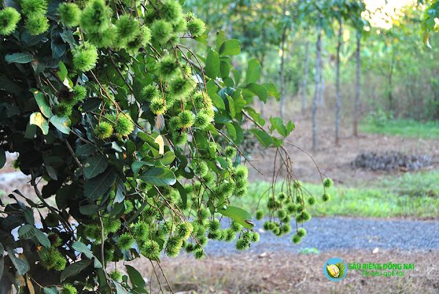 Trái cây theo mùa - Chôm Chôm chin vào tháng 7, 8