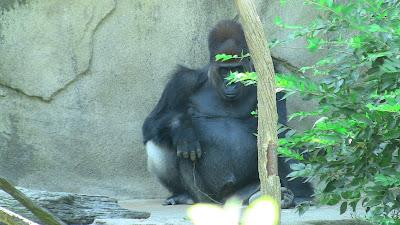 Kwashi Silverback Gorilla Cincinnnati Zoo and Botanical Garden