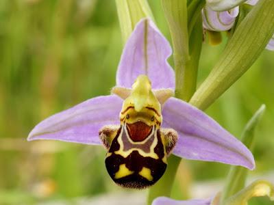 Zdjęcie dwulistnika, który udaję samicę pszczoły