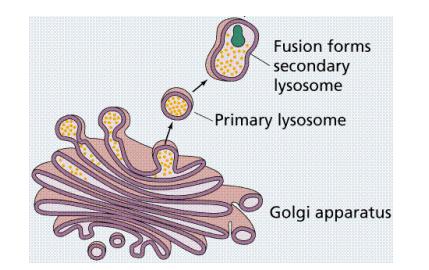 Peran dari golgi dalam membentuk lisosom