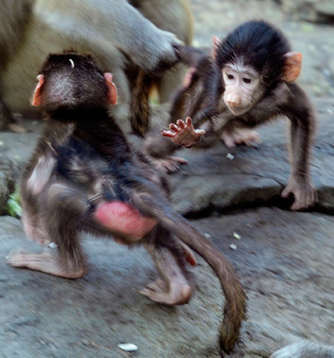 Baby Animals: Baboon infant 20