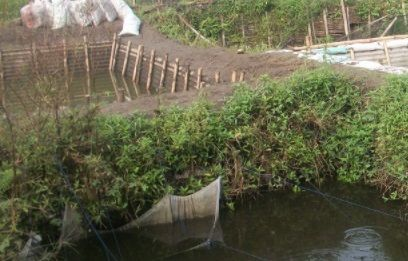 Budidaya Lele Keli di Kolam Tadah Hujan