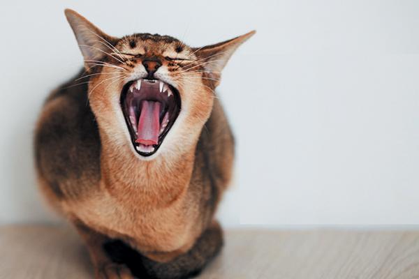 القطط تمتلك أسنان بأنواع مختلفة للقدرة على القيام بوظائف مختلفة