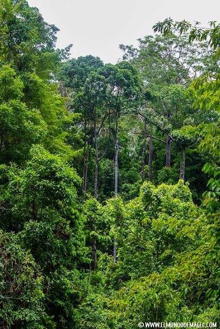 ver-orangutanes-en-borneo-sepilok-la-inmensa-selva