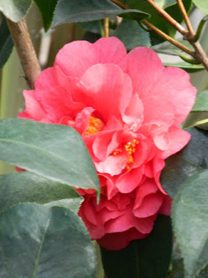 Camellia japonica Japanese Camellia at the Allan Gardens Conservatory 2018 Spring Flower Show by garden muses-not another Toronto gardening blog