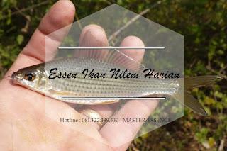 Essen Ikan Nilem Khusus Harian