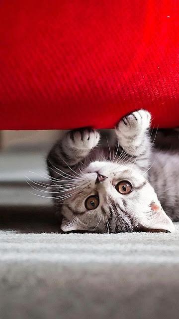 Hình nền chú mèo đáng yêu cho iPhone 7 Plus