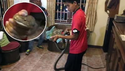 Ular king kobra di ruang keluarga.