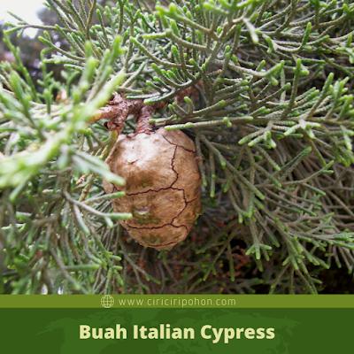 Ciri Ciri Buah Italian Cypress
