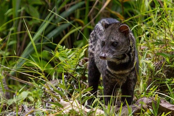 Misk kedisi - M Hayvan İsimleri