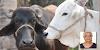 गाय और भैंस दोनों दूध देती हैं फिर केवल गाय पूजनीय क्यों, पढ़िए | GK IN HINDI