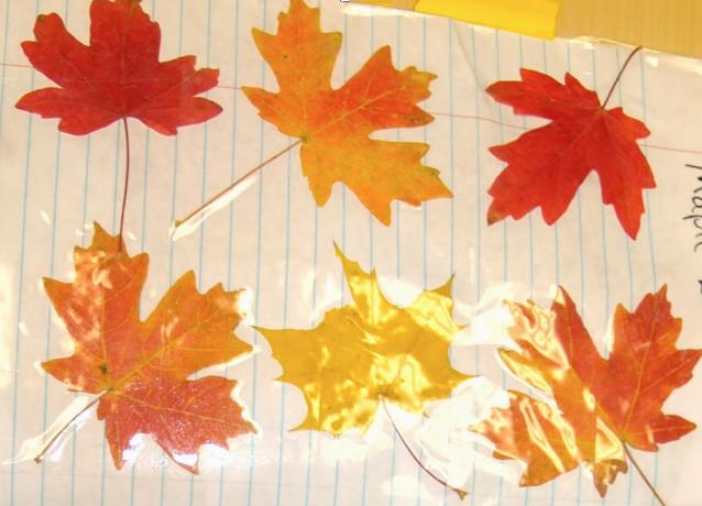 beautiful fall maple leaves