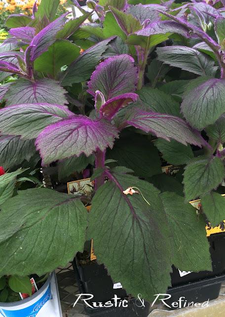 Purple Velvet Flower