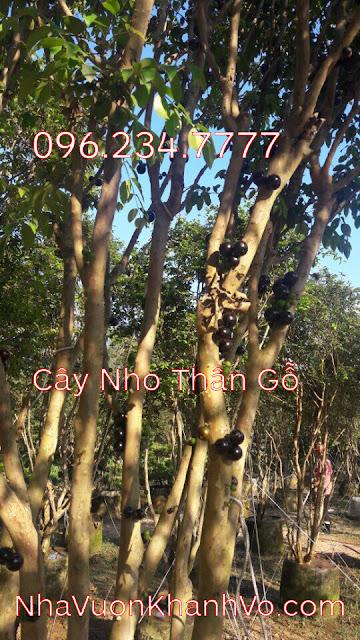 Đăng tin rao vặt: Một số điều cần biết về loại cây xuất xứ từ Nam Mỹ đang được ưa chuộng Cay-nho-than-go-khanh-vo-7
