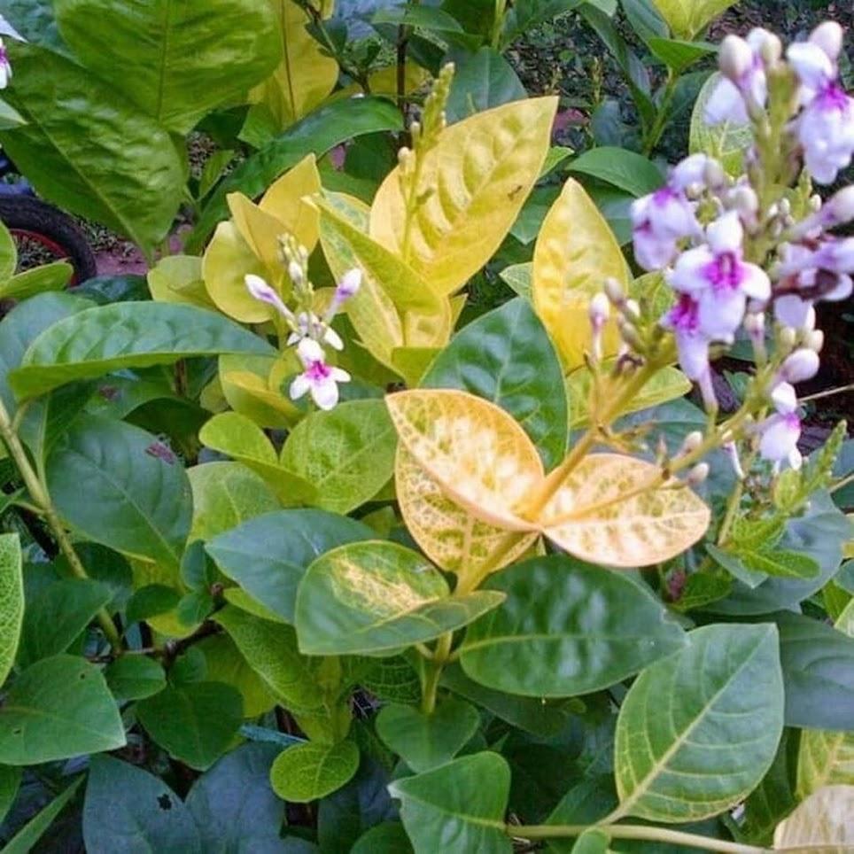 Tanaman Melati jepang variegata Bunga putih Bibit Bunga Hidup Jawa Barat
