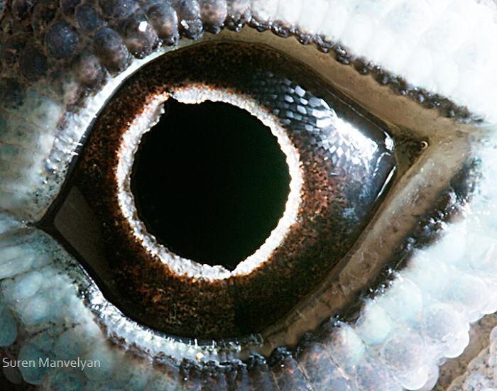 Anolis Lizard Eyes Close Up Photograph