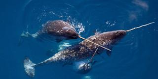 Beluga dan Narwhal – Famili Monodontidae