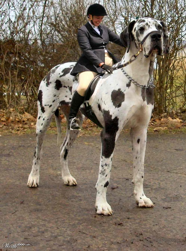 Tallest Dog in the World great Dog