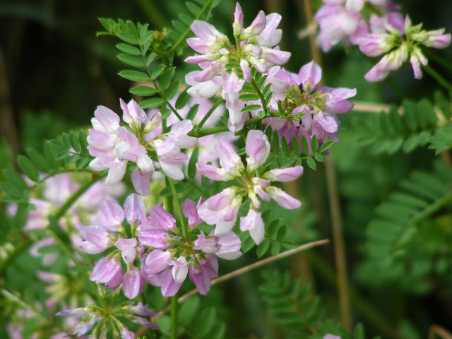 Crownvetch Securigera varia, Indre et Loire, France. Photo by Loire Valley Time Travel.