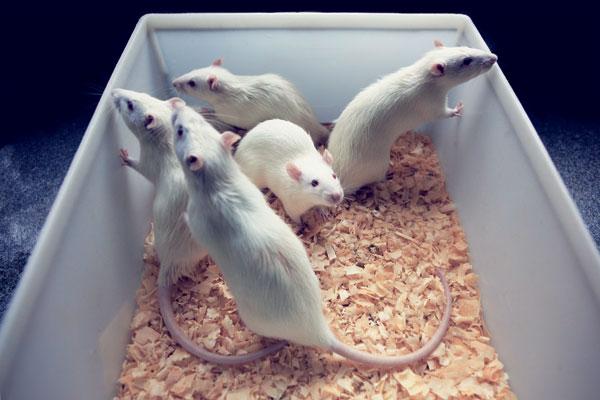 Por que cérebros de ratos nem sempre são bons modelos para estudos em humanos