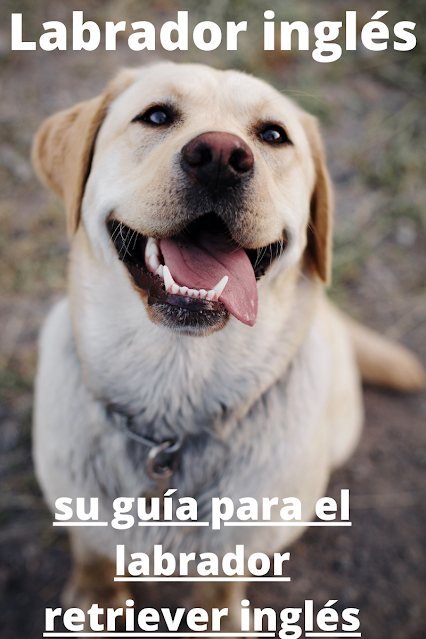 Labrador inglés guia