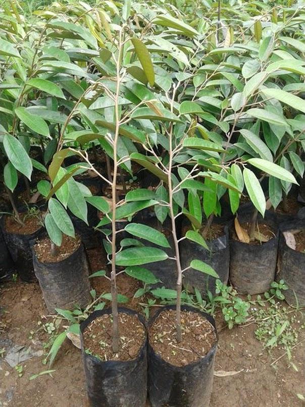 Bibit Durian Duri Hitam Durian Oche Jawa Timur
