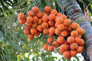 Manfaat buah pinang dan bahaya nya