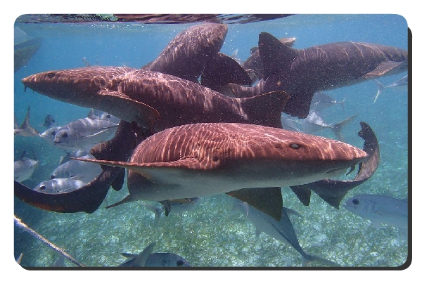 nurse shark group