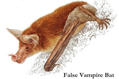 chiroptera falso vampiro Vampyrum spectrum