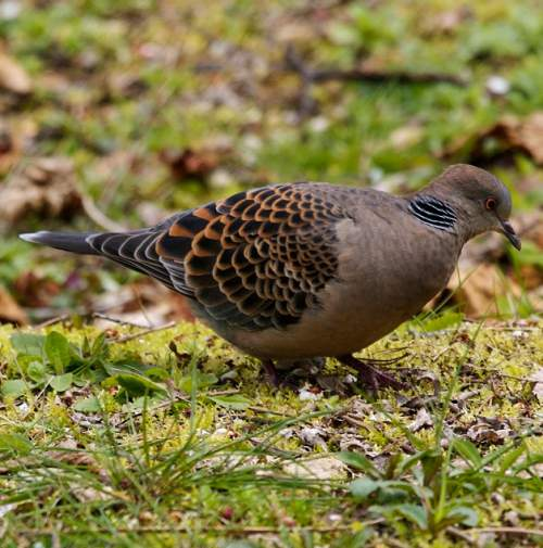 Birds of India - Photo of Oriental turtle dove - Streptopelia orientalis