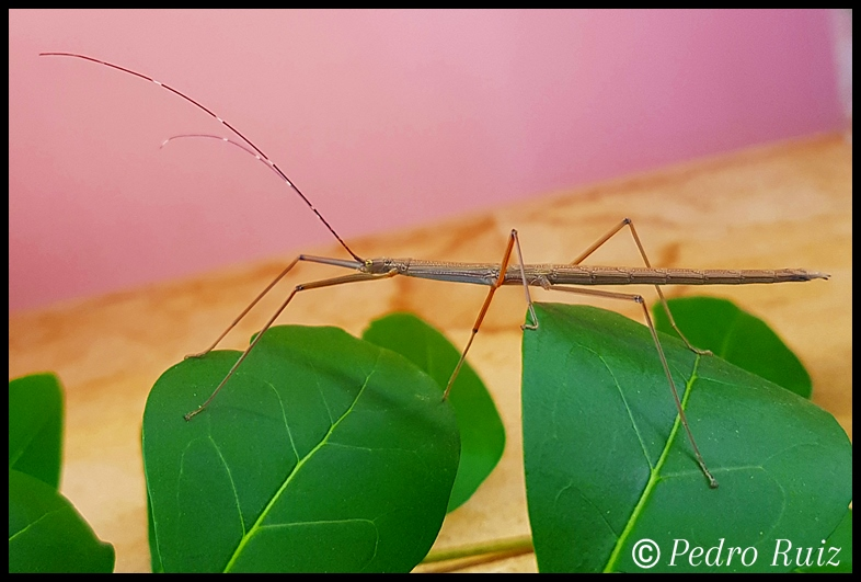 "Ninfa hembra L5 de Lamachodes sp. ""Bokor"", 5,5 cm de longitud"