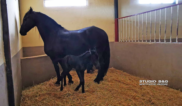 Το μεγαλείο της φύσης: Γέννηση αλόγου σε φάρμα στην Αργολίδα (βίντεο)