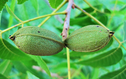 Juglone is produced by several other tree species including pecan