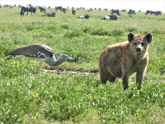 kori bustard e iena serengeti