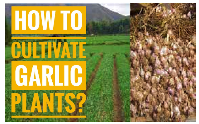Garlic (Allium sativum) belongs to the family Liiliaceae and is one of the most popular cooking spices used. Another use of garlic is as a medicine for high blood pressure, rheumatism, toothache, snake bites, and others.